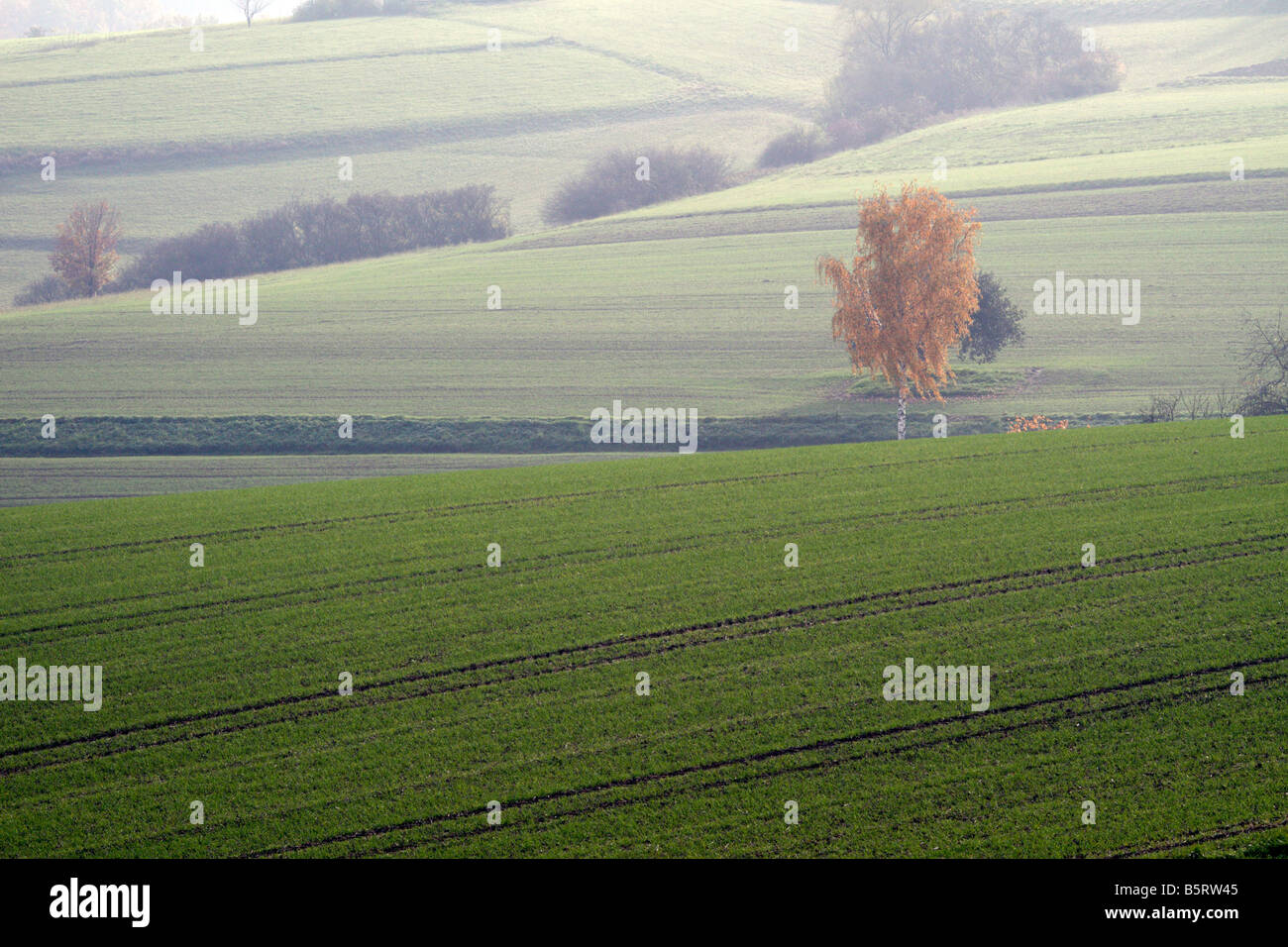 Birch tree in autumn colours and fields in Germany. It\'s a foggy day ...