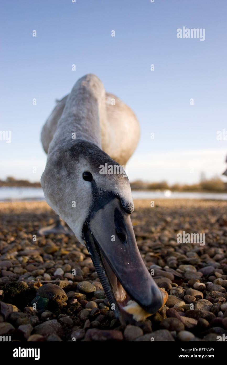 Stock Photo - Wide angle photograph of immature Mute Swan Cygnus olor taking  bread off shore