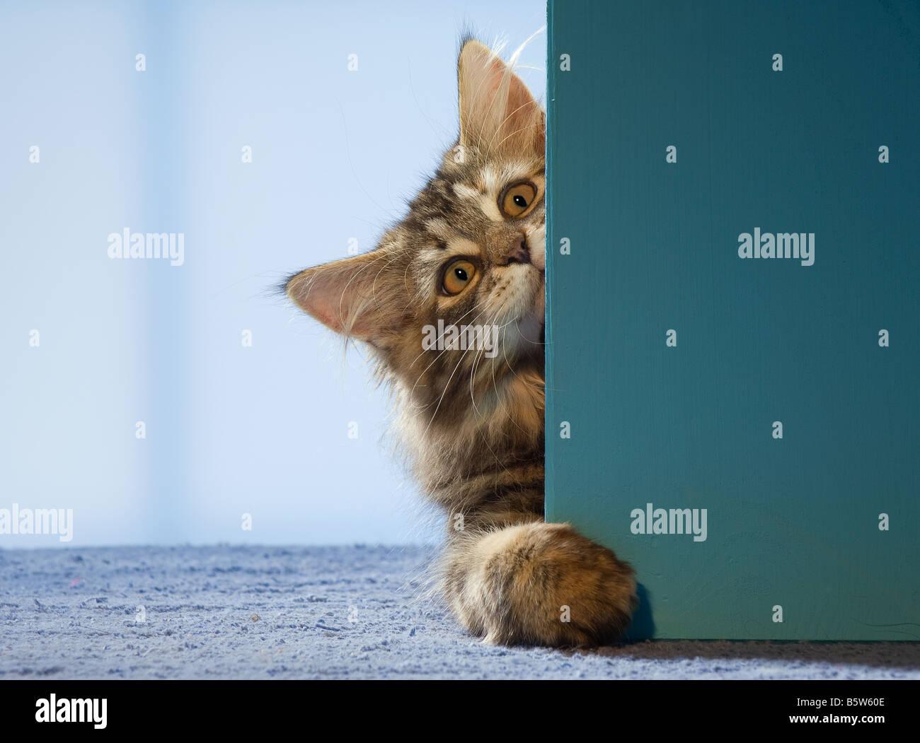 Maine Coon cat - kitten lying behind door & Maine Coon cat - kitten lying behind door Stock Photo Royalty ...