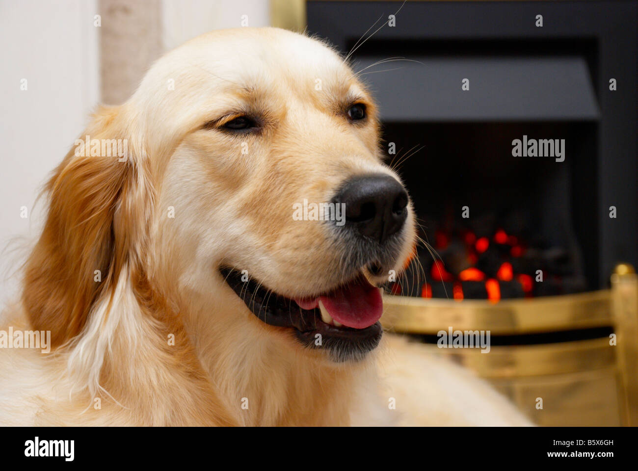 british golden retriever sat in front of the fireplace stock photo