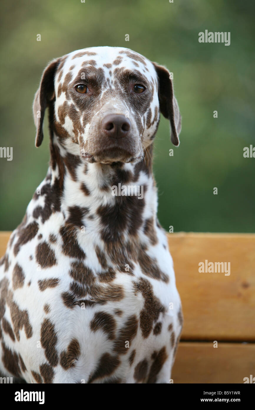 Dalmatian Dog Breed Information Pictures Characteristics