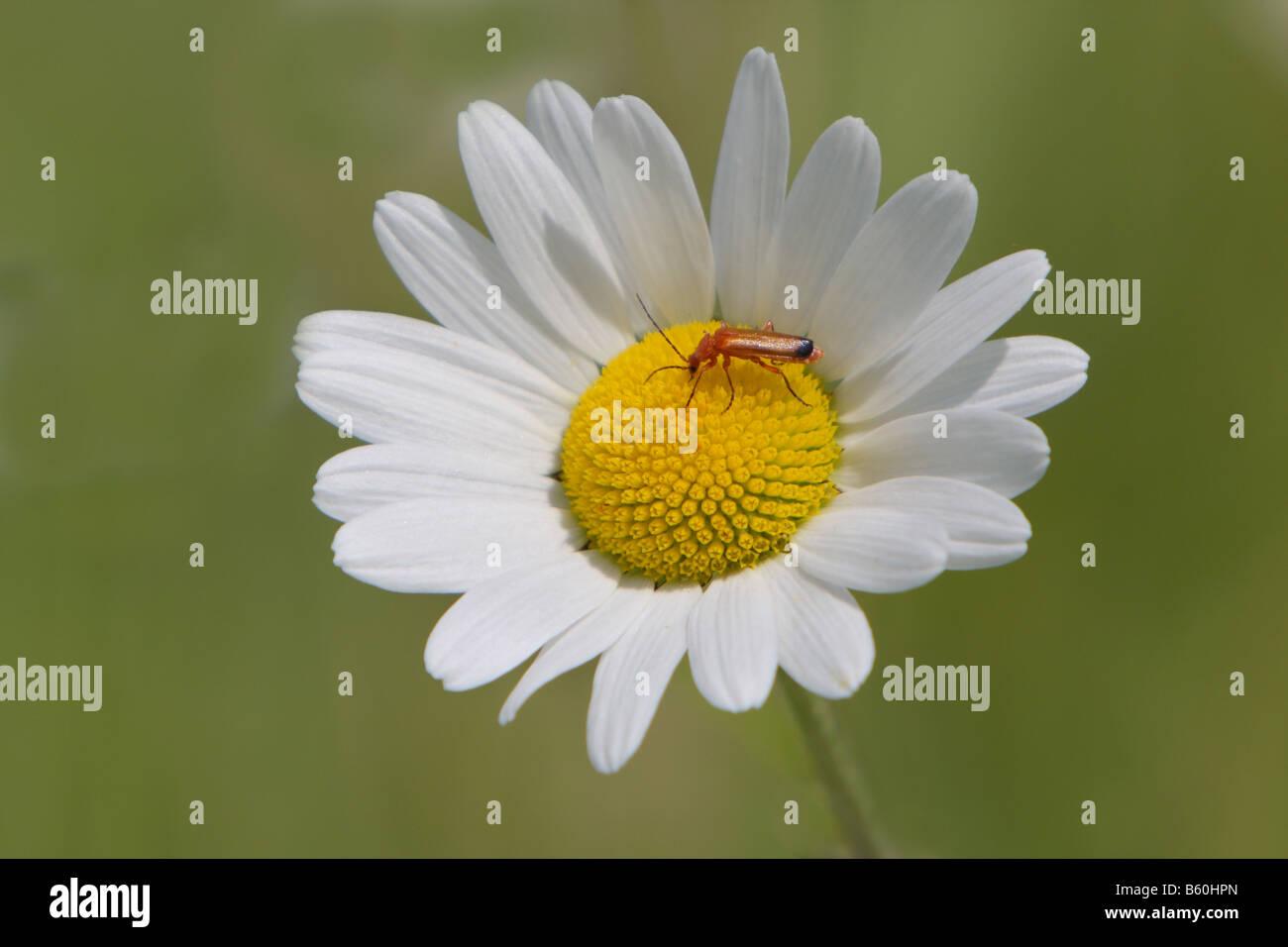 Bug on a daisy Stock Photo bug on a daisy