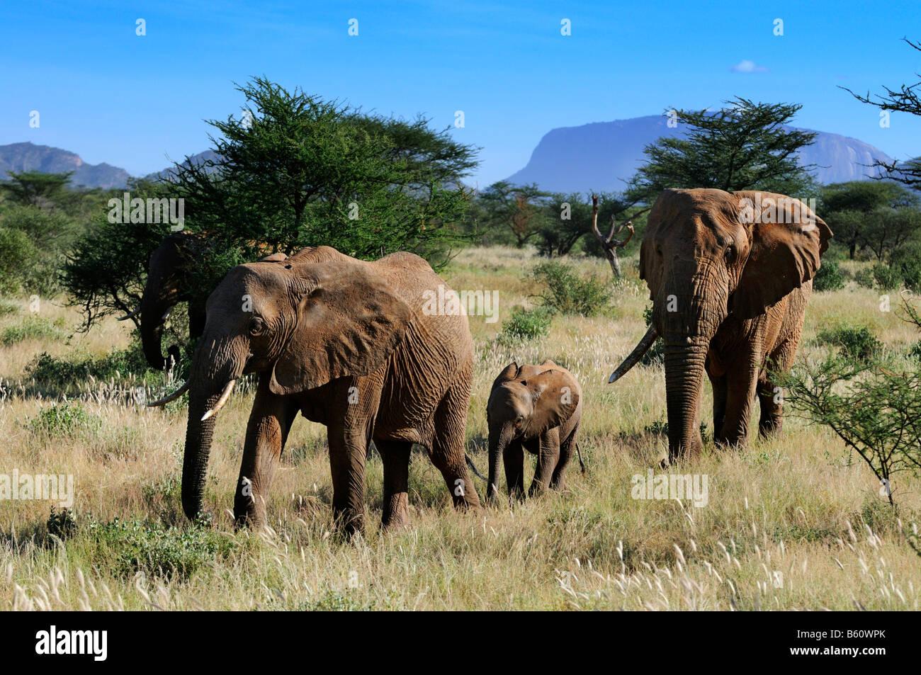 African Bush Elephant Bull