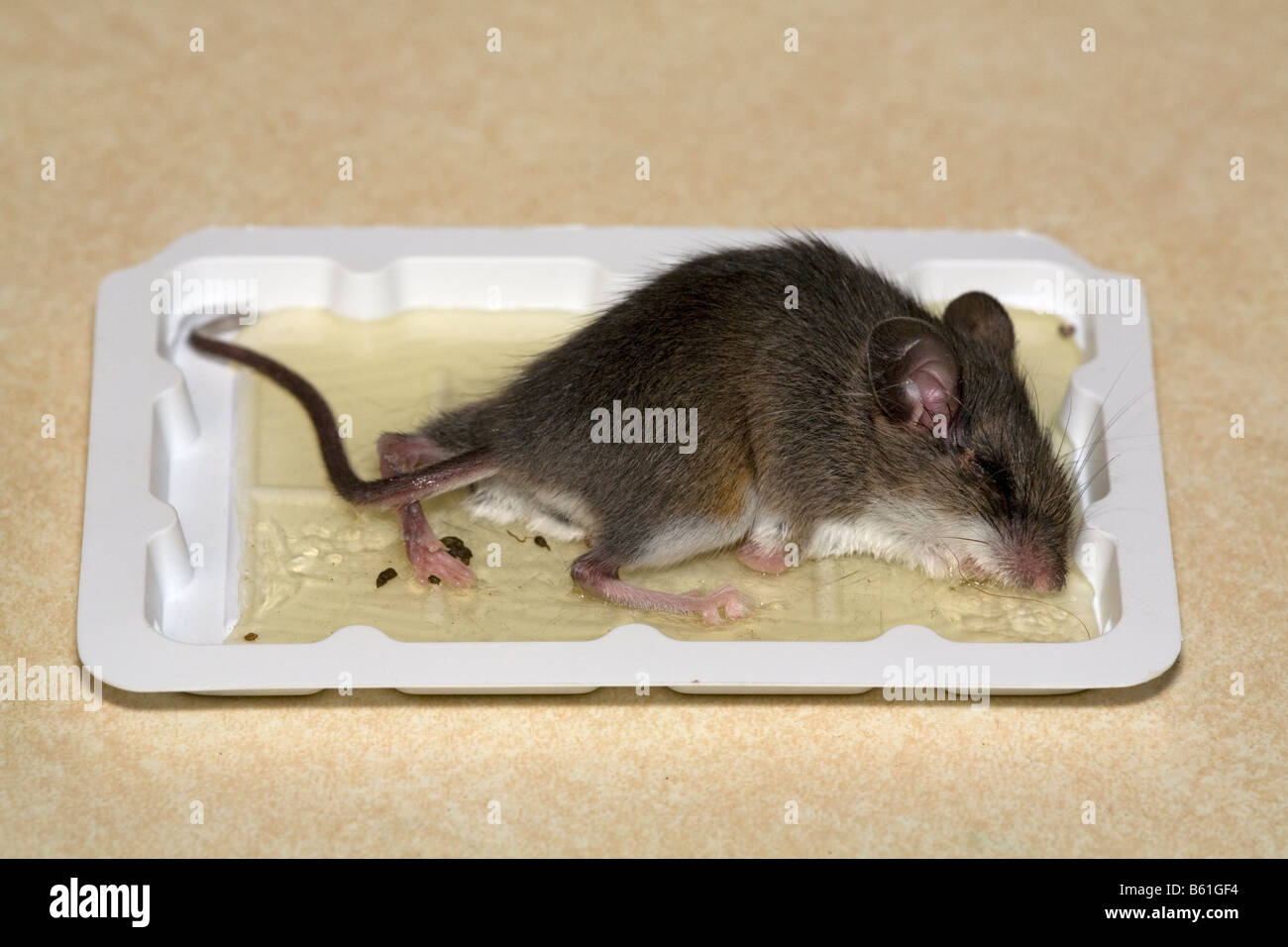 Dead Mouse In Glue Trap Stock Photo Royalty Free Image