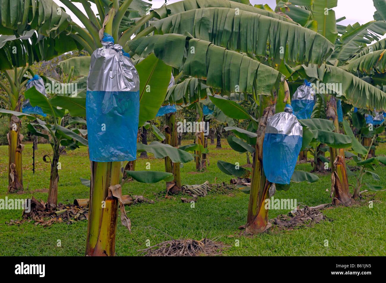 protection against feeding damage on banana plants daintree