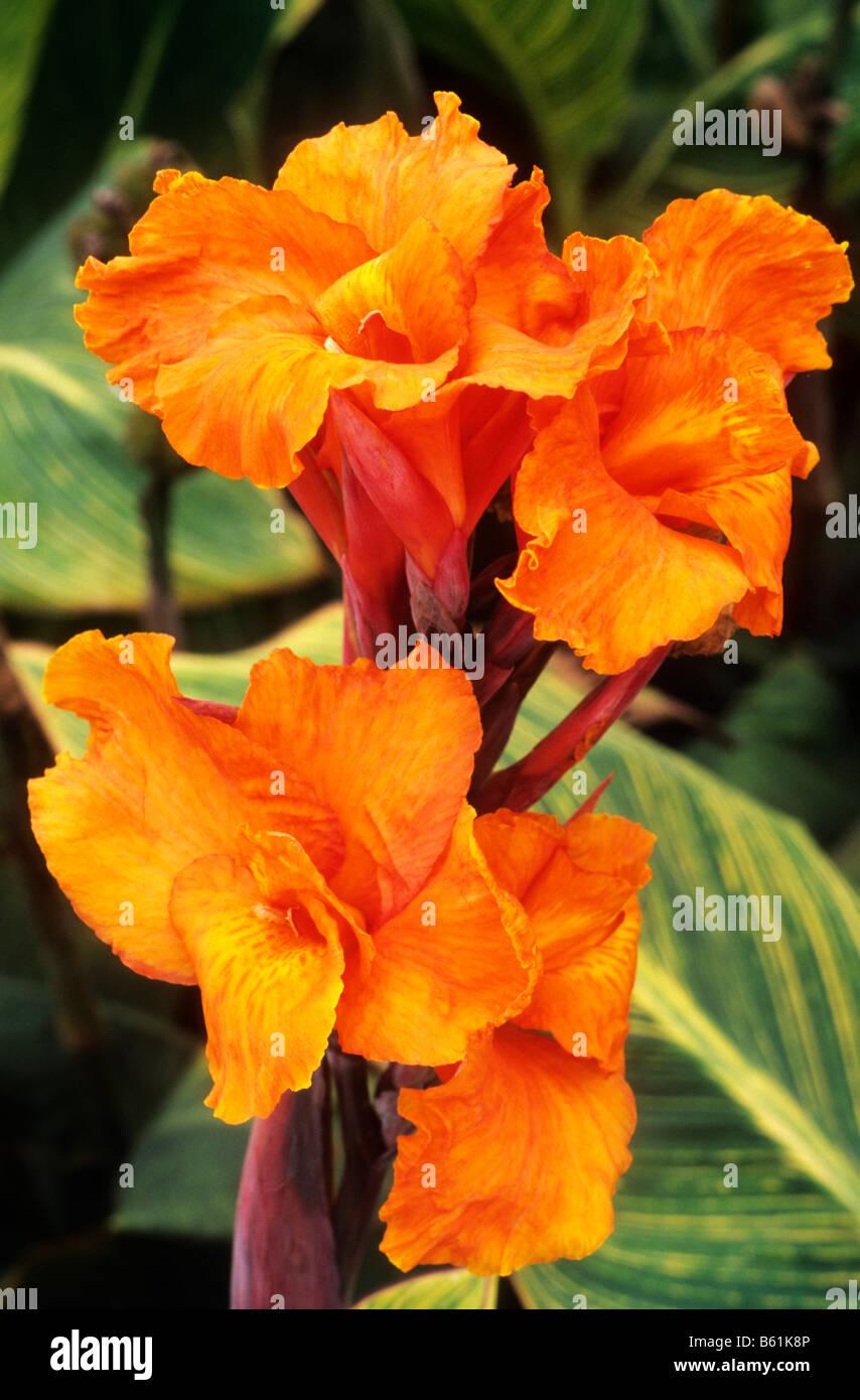 Pretoria Orange Flower Exotic Garden Plant Cannas