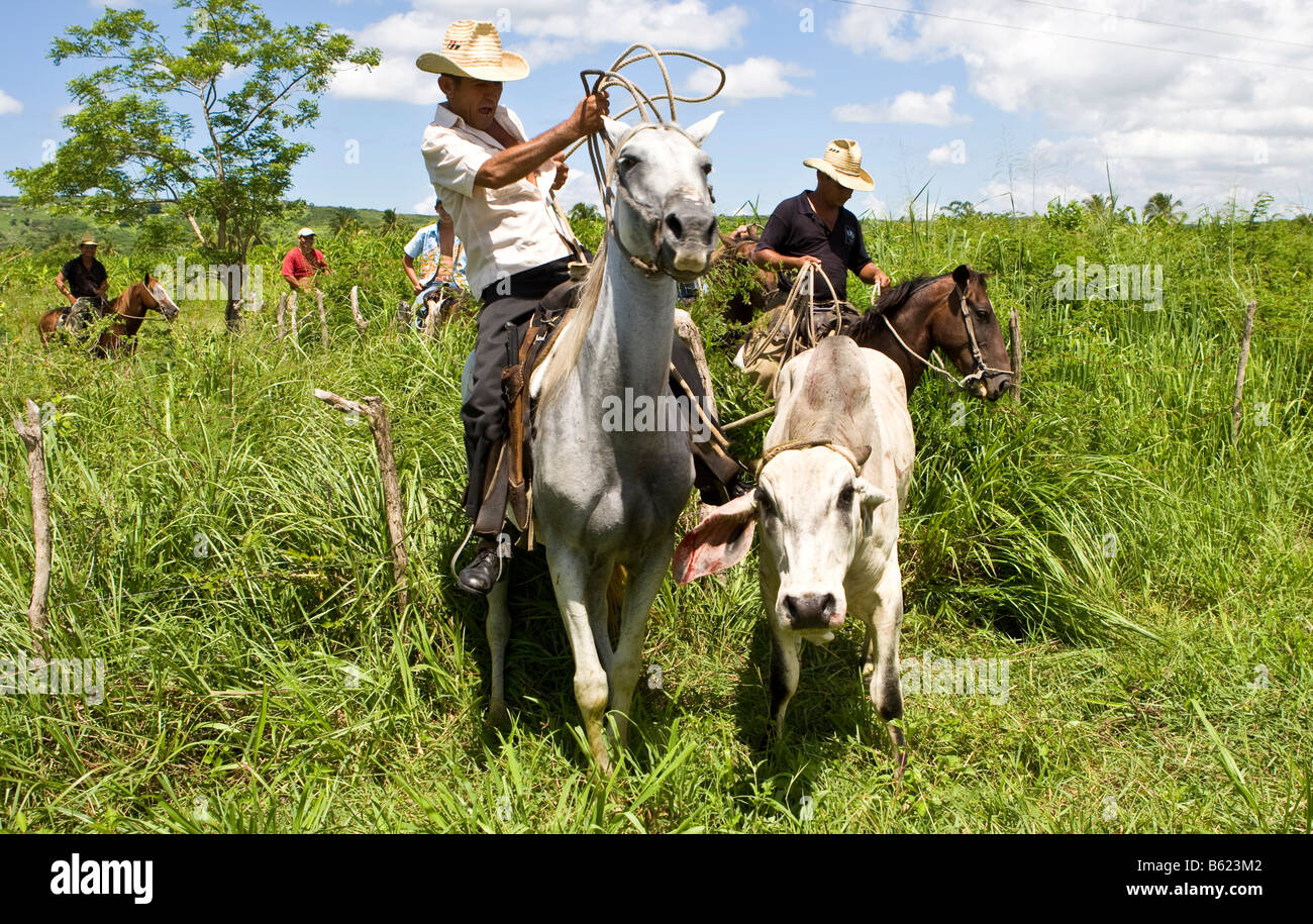 Horse In Latin Cuban horse riders catching an