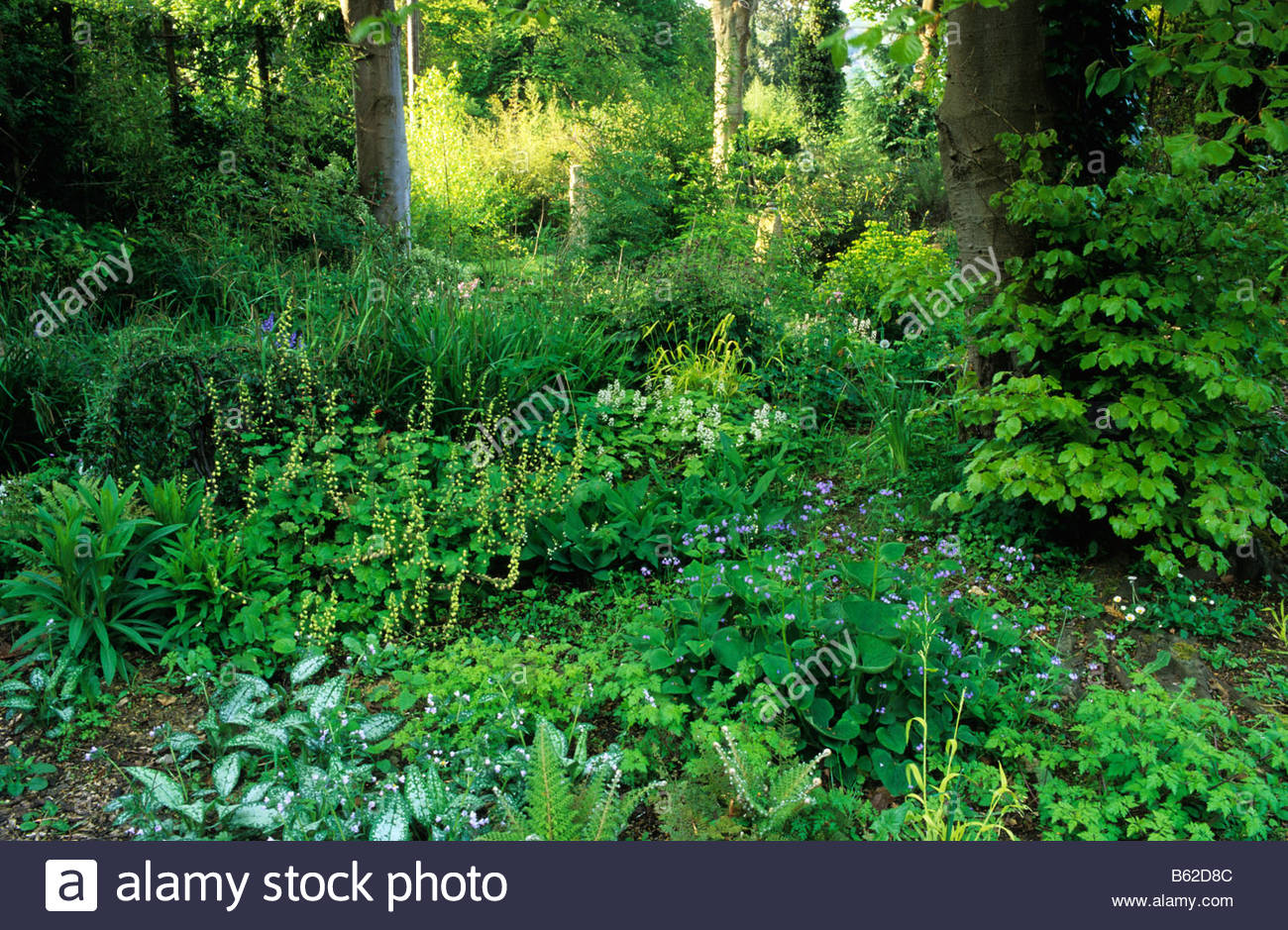 How to plant ground cover for shady areas - Browns Hill Gloucestershire Woodland Shade Garden With Groundcover Plants Brunnera Pulmonaria Tiarella Tellima Grandiflora Stock