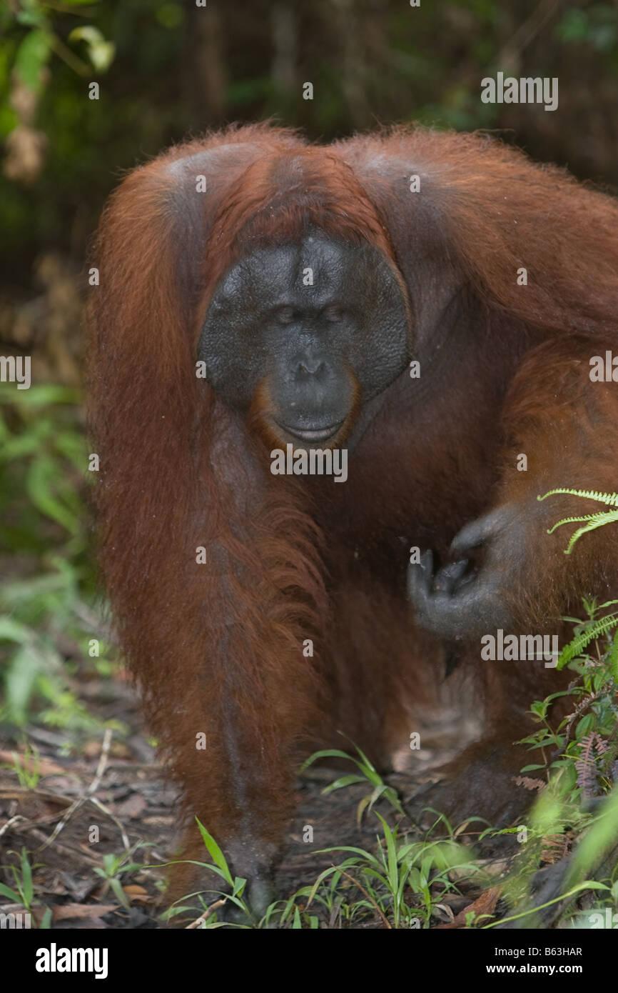 Male orangutan  Pongo