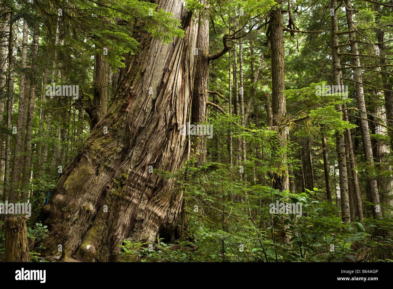 Red Cedar Forest ~ Old growth western red cedar thuja plicata with