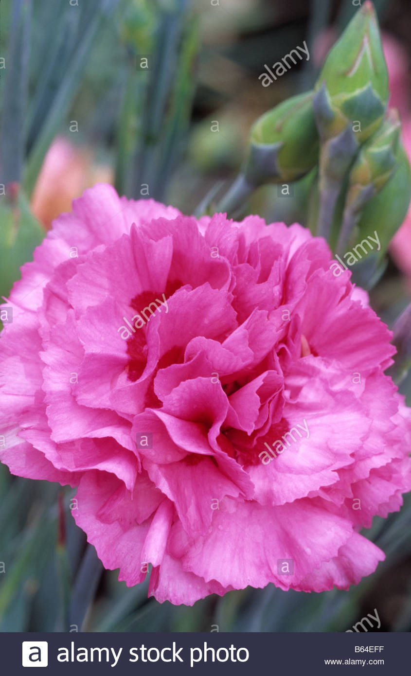 Old-Fashioned Pinks - Dianthus - Select Seeds 97