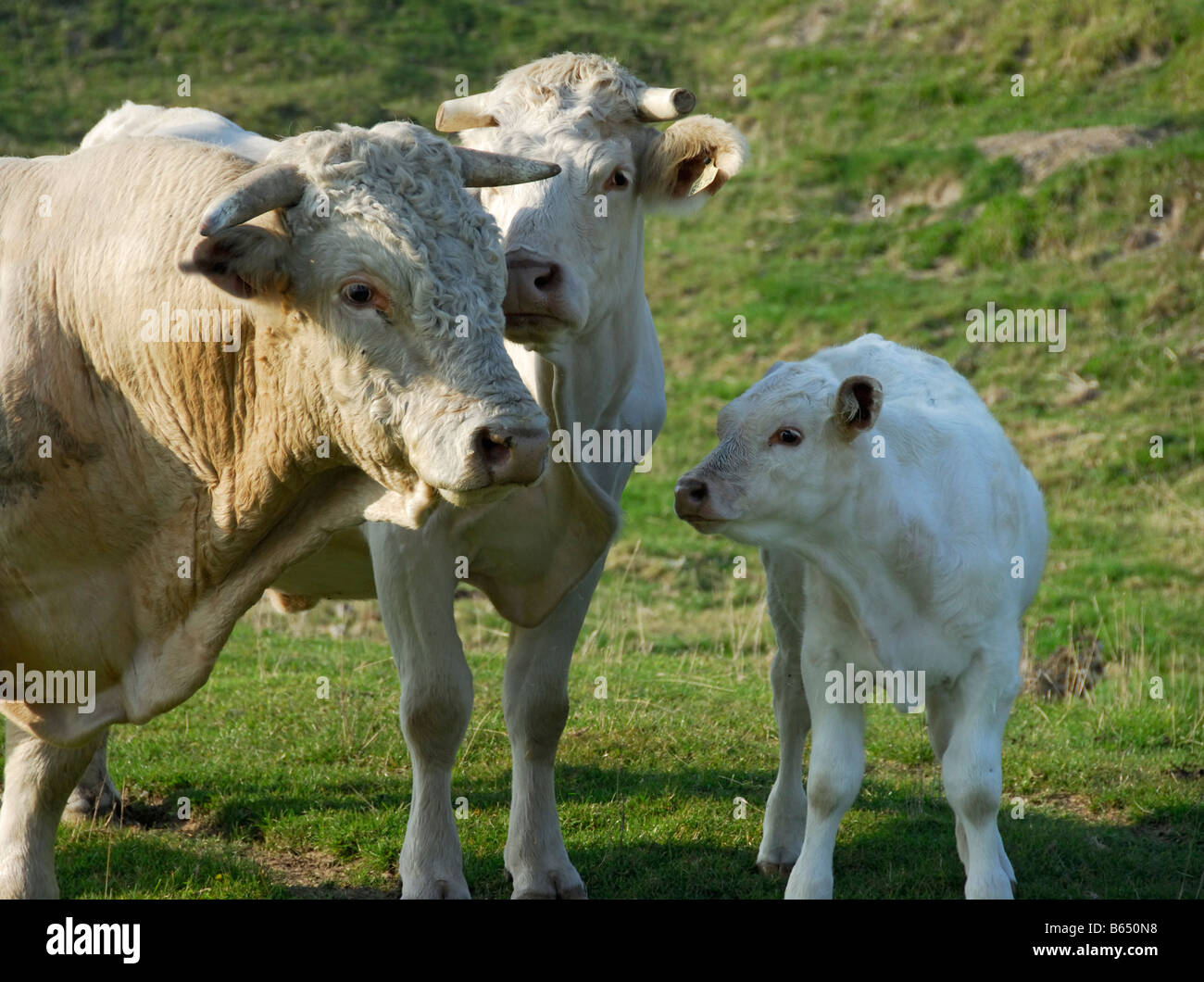 charolais cattle bull cow calf in normandy stock photo royalty