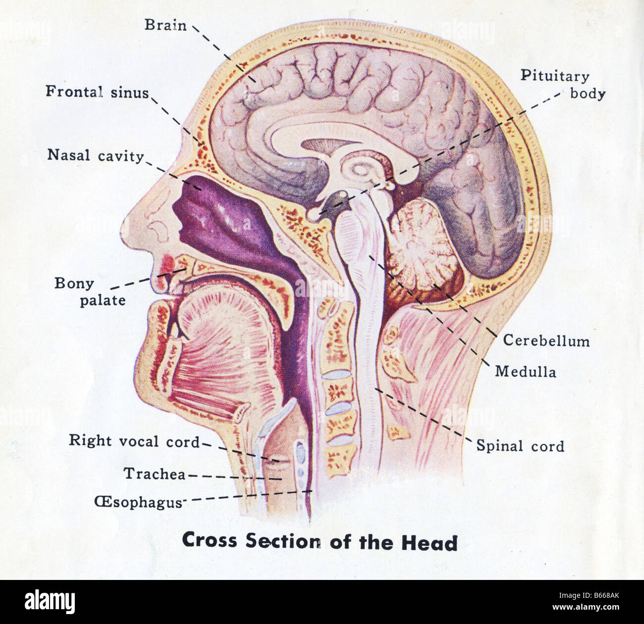 medical diagram of human head stock photo  royalty free image     medical diagram of human head