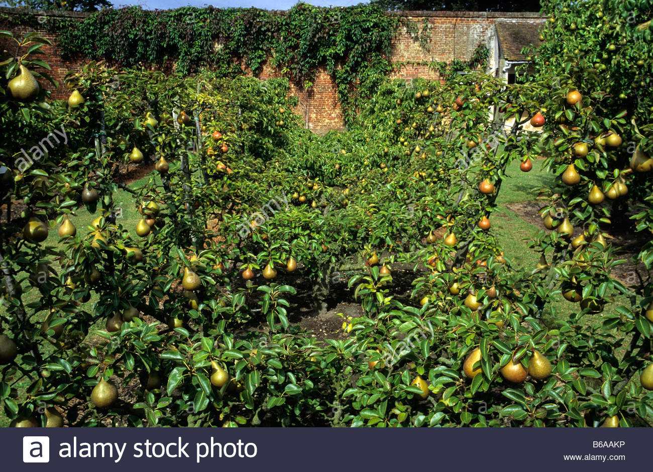 Hri hatton fruit garden kent pear bateau trained fruit for Garden trees kent