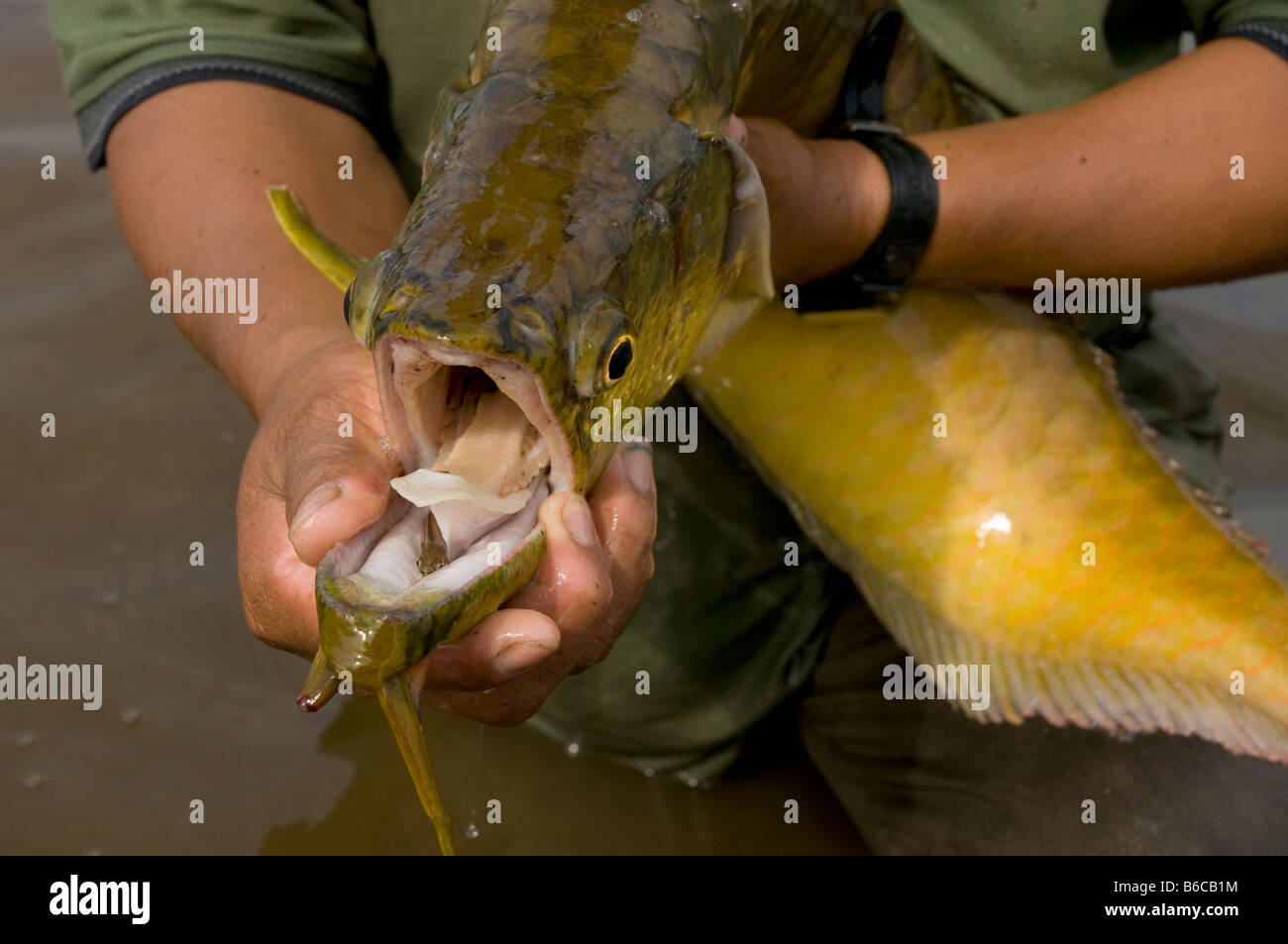Silver Arowana: Care Guide, Tank Size, Diet and More ...