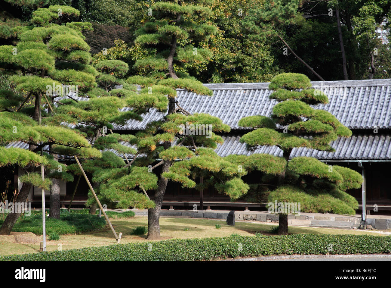 Japan Tokyo Imperial Palace East Garden Japanese Pine Trees   Stock Image