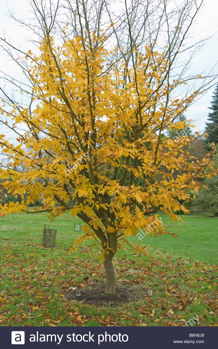 parrotia persica vanessa the sir harold hillier gardens. Black Bedroom Furniture Sets. Home Design Ideas