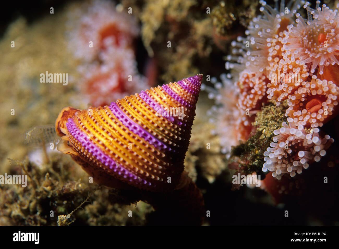 Purple Ringed Top Snail