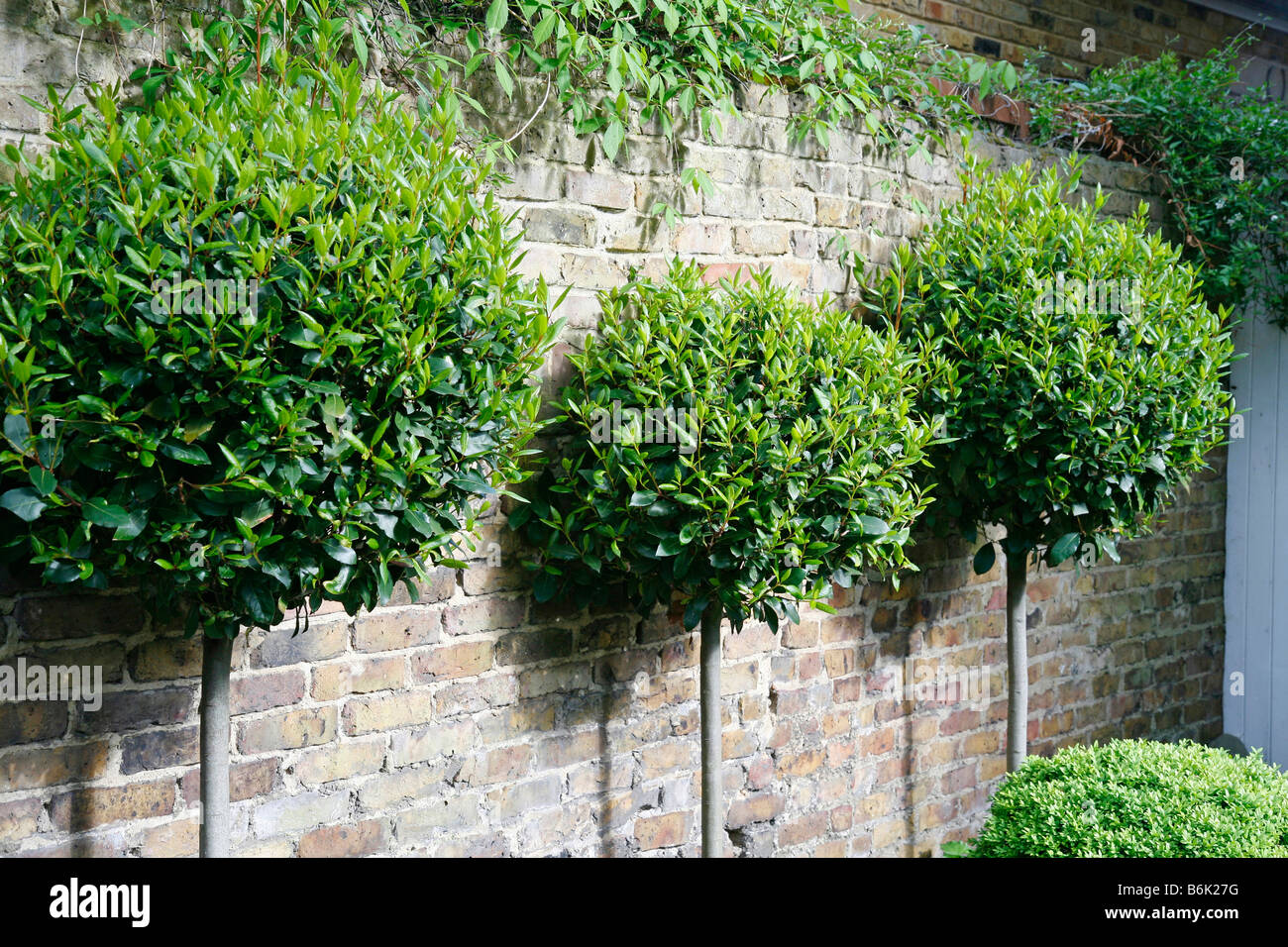 Laurel tree shape laurus nobilis in a london garden near for Garden trees london