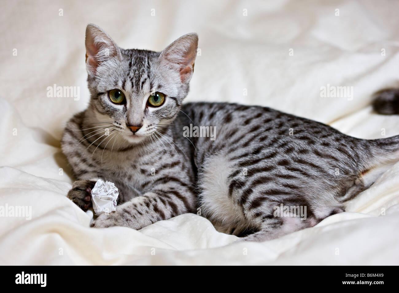 Egyptian Cats Stock Photos & Egyptian Cats Stock Images - Alamy