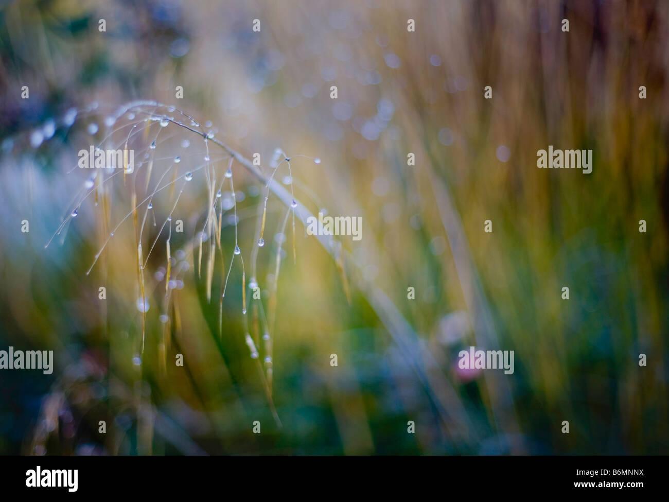 stipa gigantea winter garden stock photo royalty free image