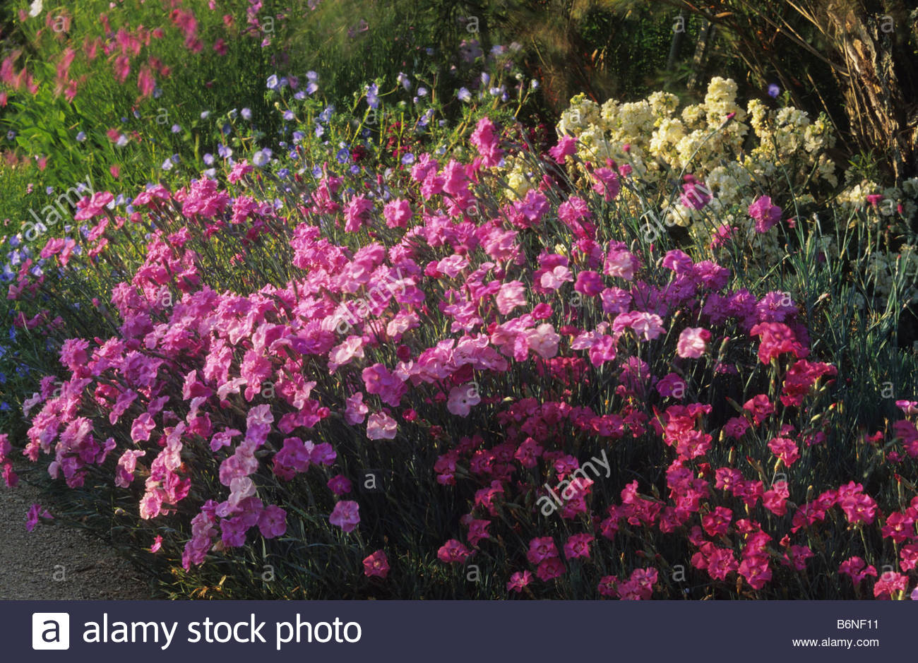 Old-Fashioned Pinks - Dianthus - Select Seeds 59