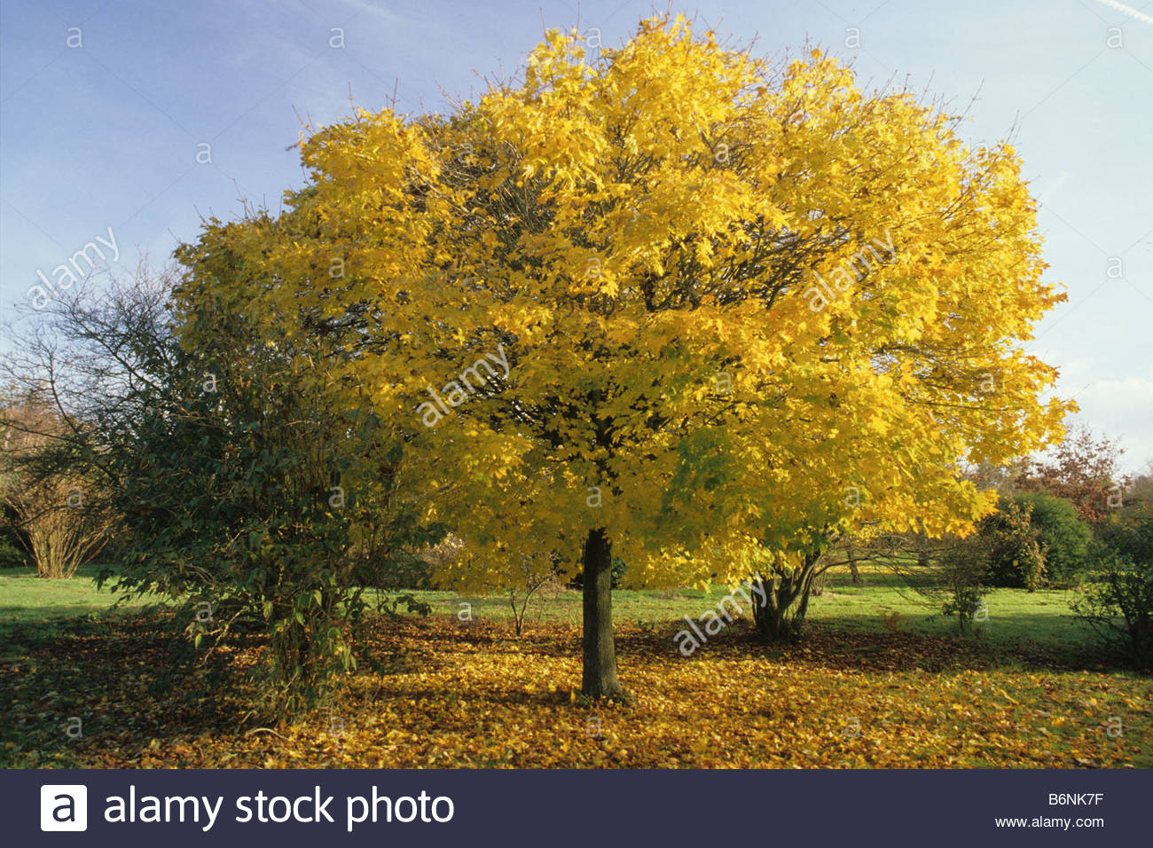 hilliers arboretum hampshire maple acer platanoides globosum in stock photo royalty free image. Black Bedroom Furniture Sets. Home Design Ideas