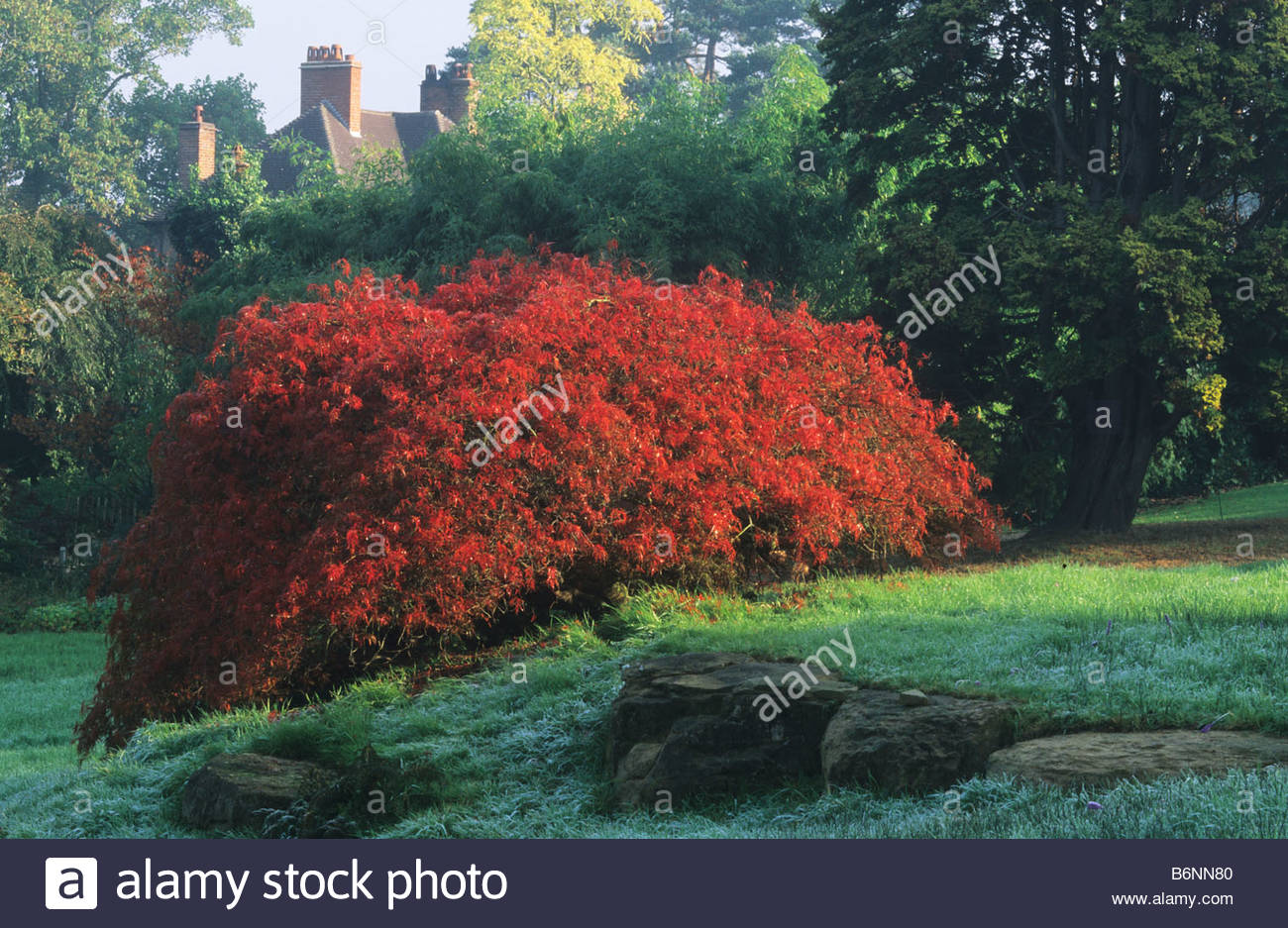 rhs wisley surrey japanese maple acer palmatum dissectum. Black Bedroom Furniture Sets. Home Design Ideas