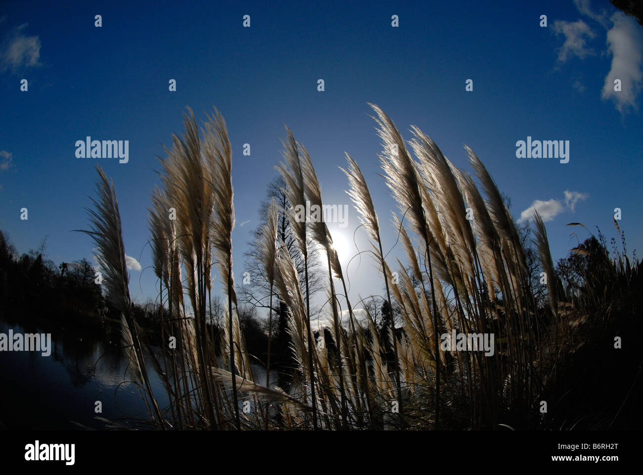 pampas grass swaying in the wind with blue sky in winter. Black Bedroom Furniture Sets. Home Design Ideas