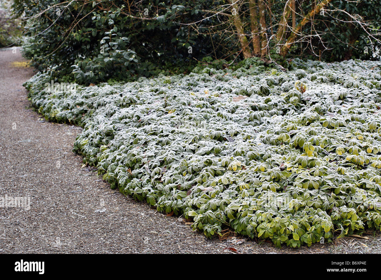 hoar frost on pachysandra terminalis used as ground cover. Black Bedroom Furniture Sets. Home Design Ideas