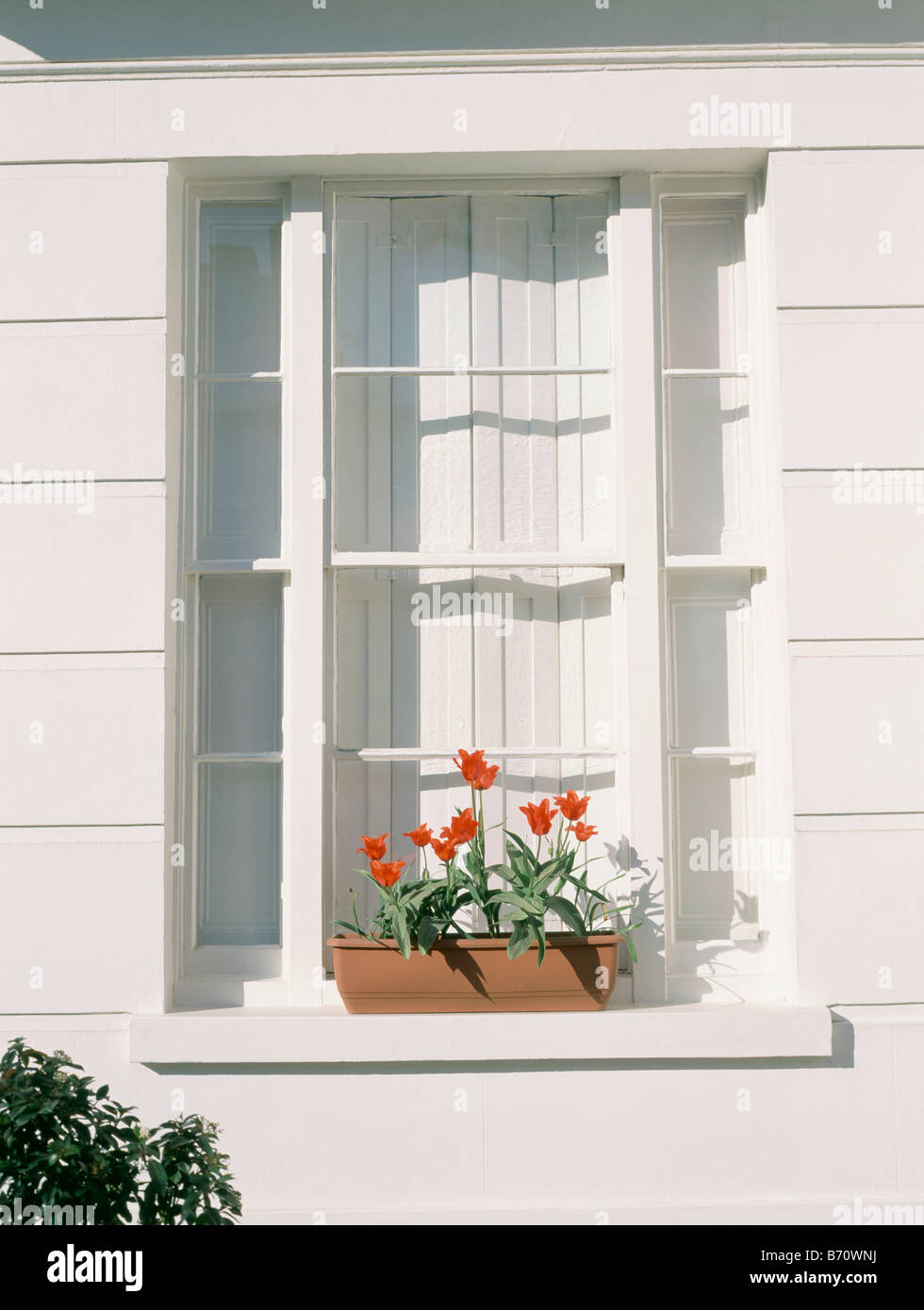 Close Up Of Window With Internal White Shutters On Traditional White  Townhouse With Red Tulips In Pot On Windowsill