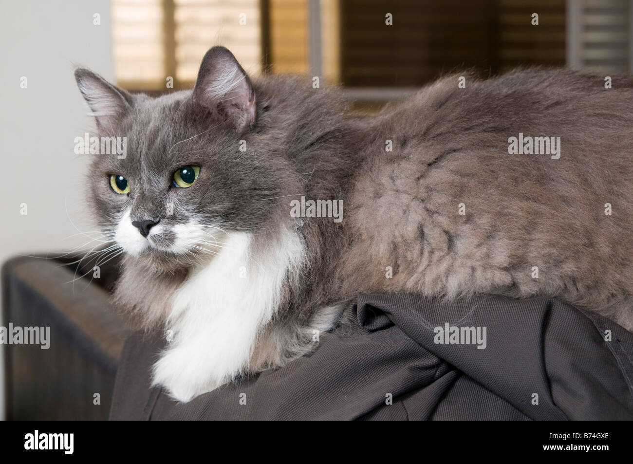 Grey and white Persian Cat with green eyes Stock Photo ...