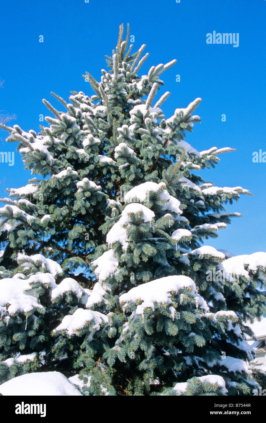 Fresh snow on fir tree Colorado blue spruce nature natural