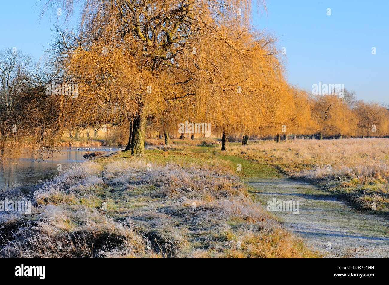 Weeping Willow Trees In Winter Home Park Kingston Surrey Stock