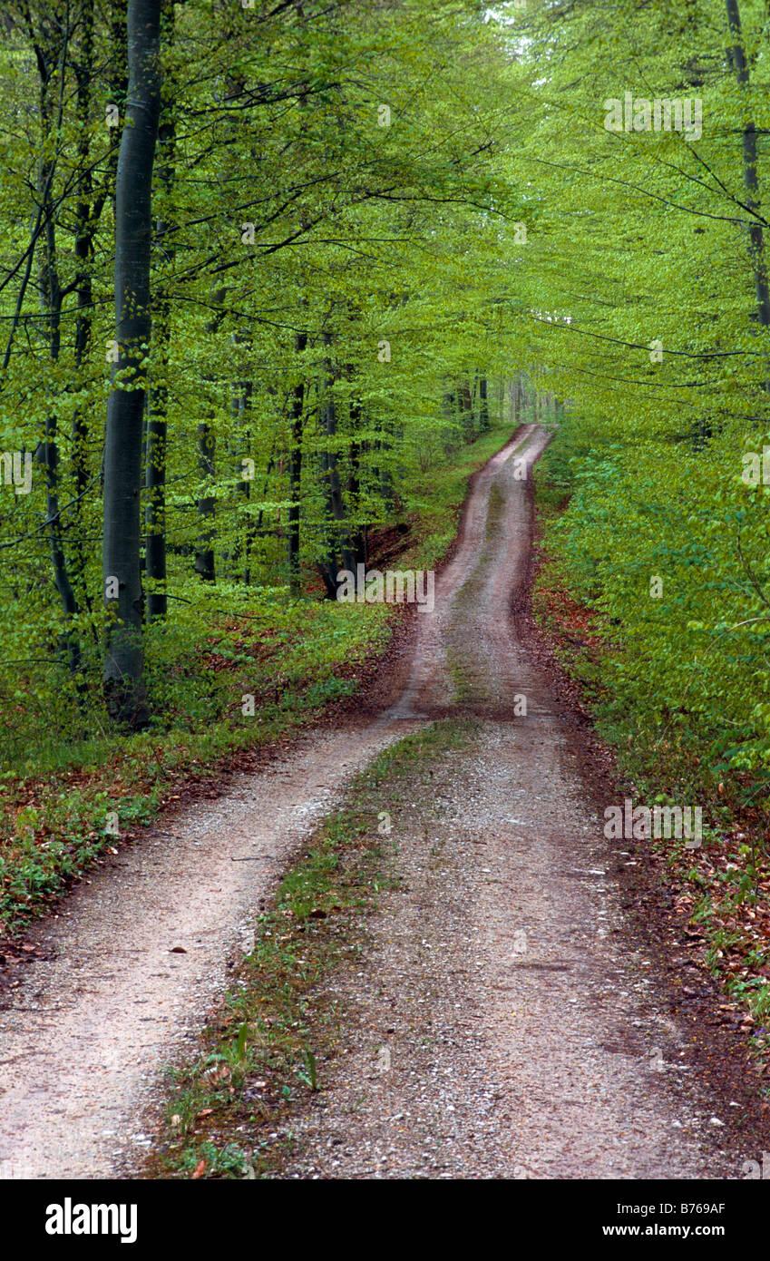 forest road talheim sylvatica orientbuche fagus orientalis beech