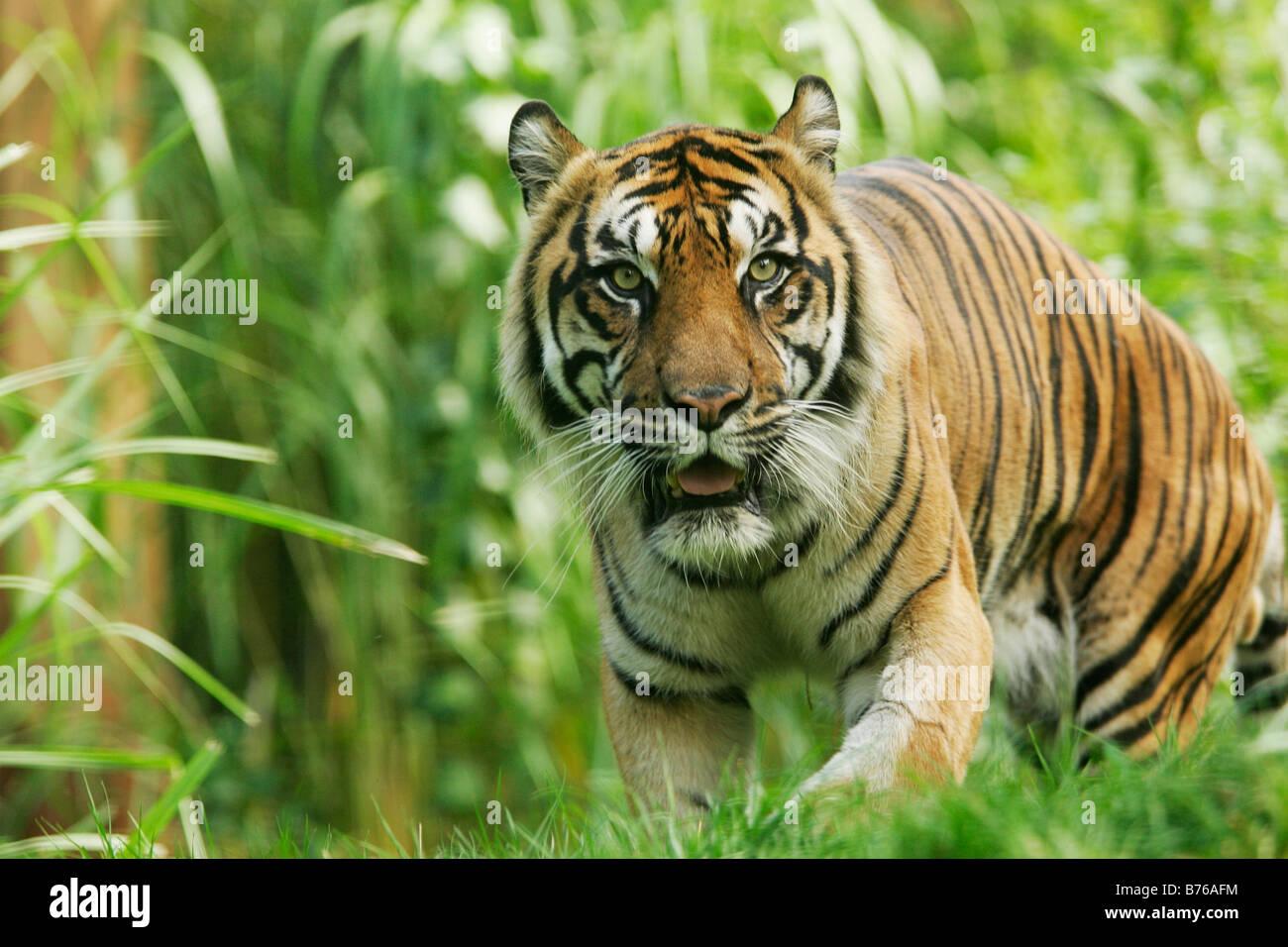 Panthera Tigris Stock Photos & Panthera Tigris Stock Images - Alamy