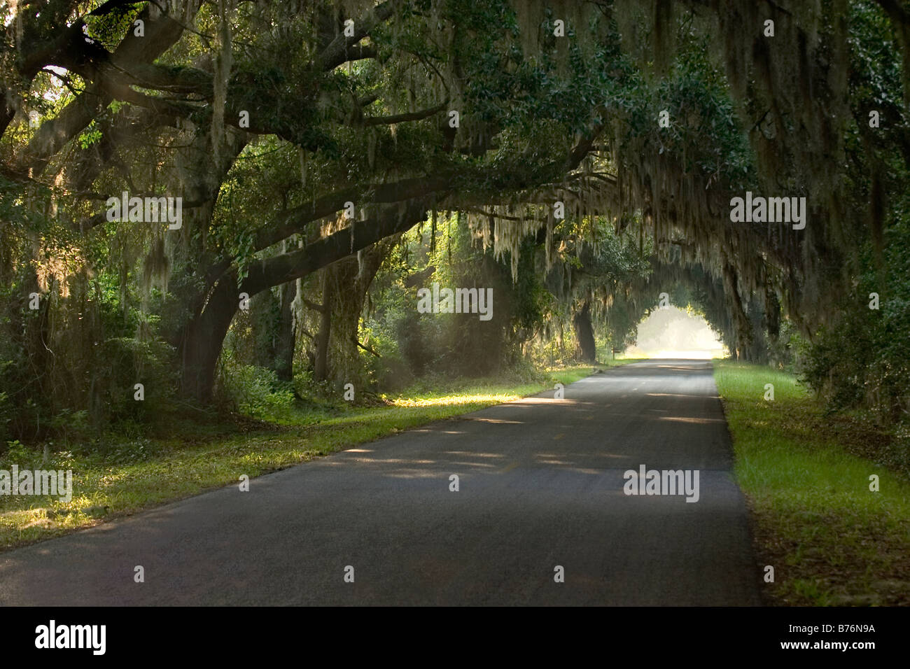 Live Oak Trees with Spanish Moss Creating Canopy over paved Road Edisto Island South Carolina USA : canopy spanish - memphite.com