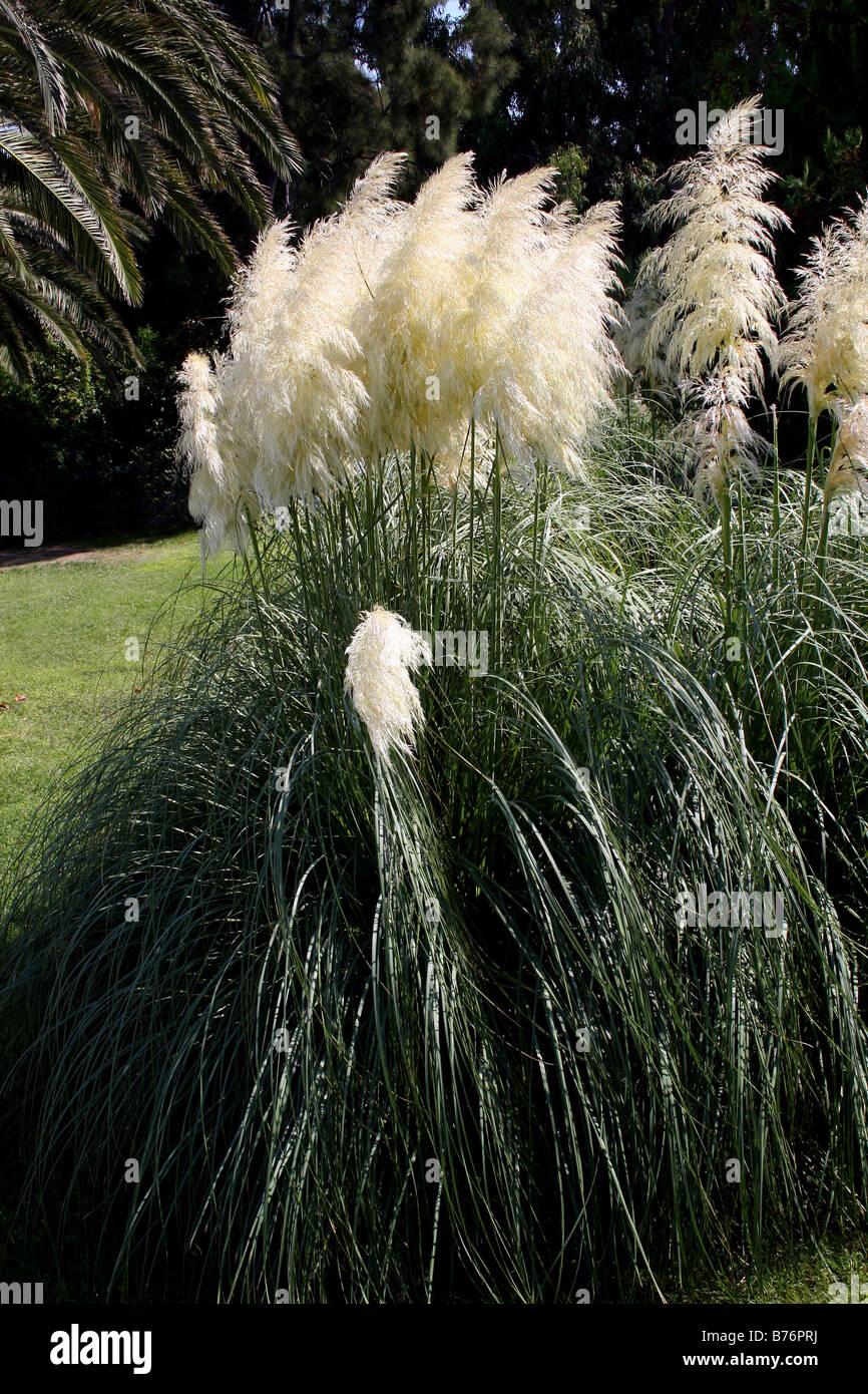 cortaderia selloana pampas grass tussock grass. Black Bedroom Furniture Sets. Home Design Ideas