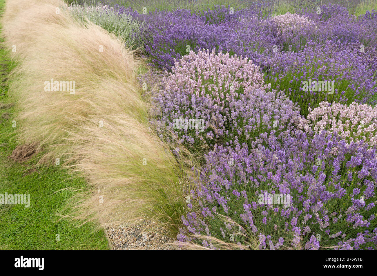 Lavender Garden With Angel Hair Grass   Stipa Tenuissima   Stock Image