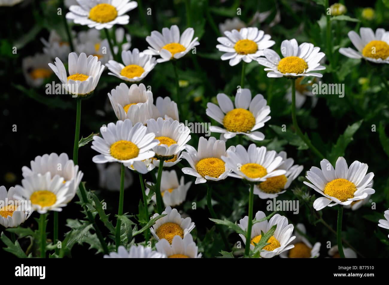 Yellow daisy type flower stock photos yellow daisy type flower chrysanthemum paludosum snowland leucanthemum mini marguerite dwarf daisy type annual flower bloom blossom dhlflorist Images