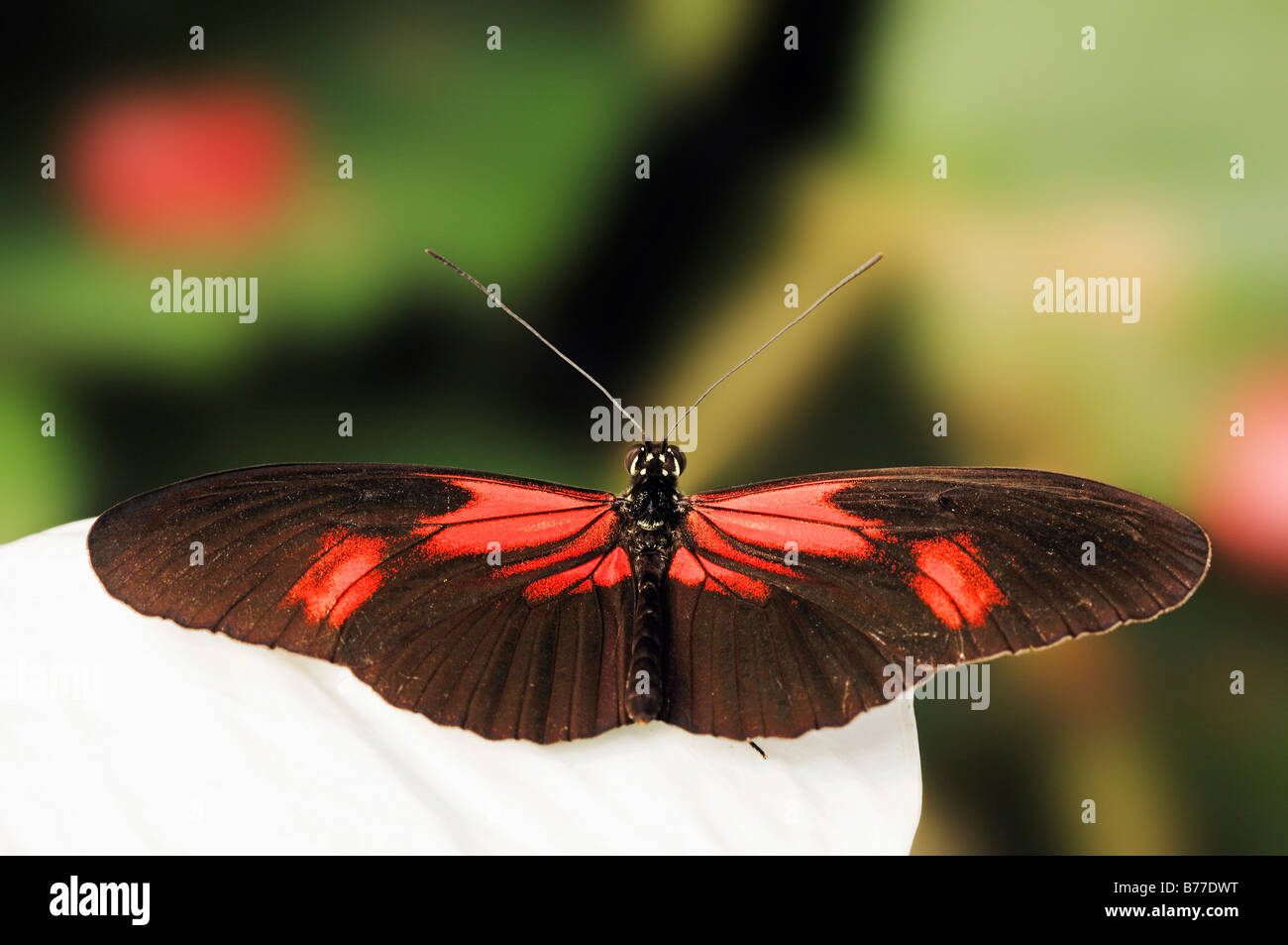 small postman red passion flower butterfly crimson patched