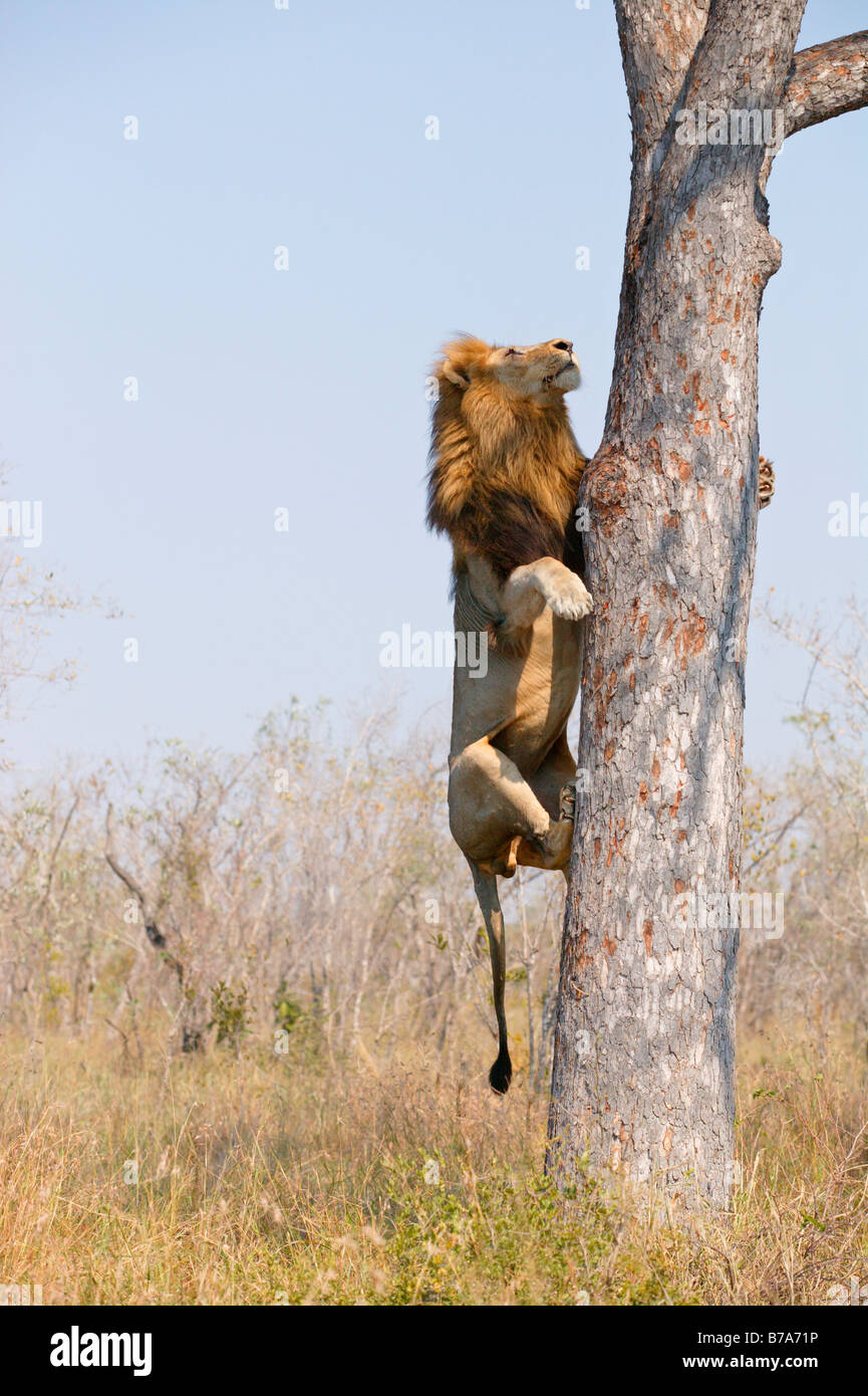 A male lion climbing the vertical stem of a Marula tree to ...