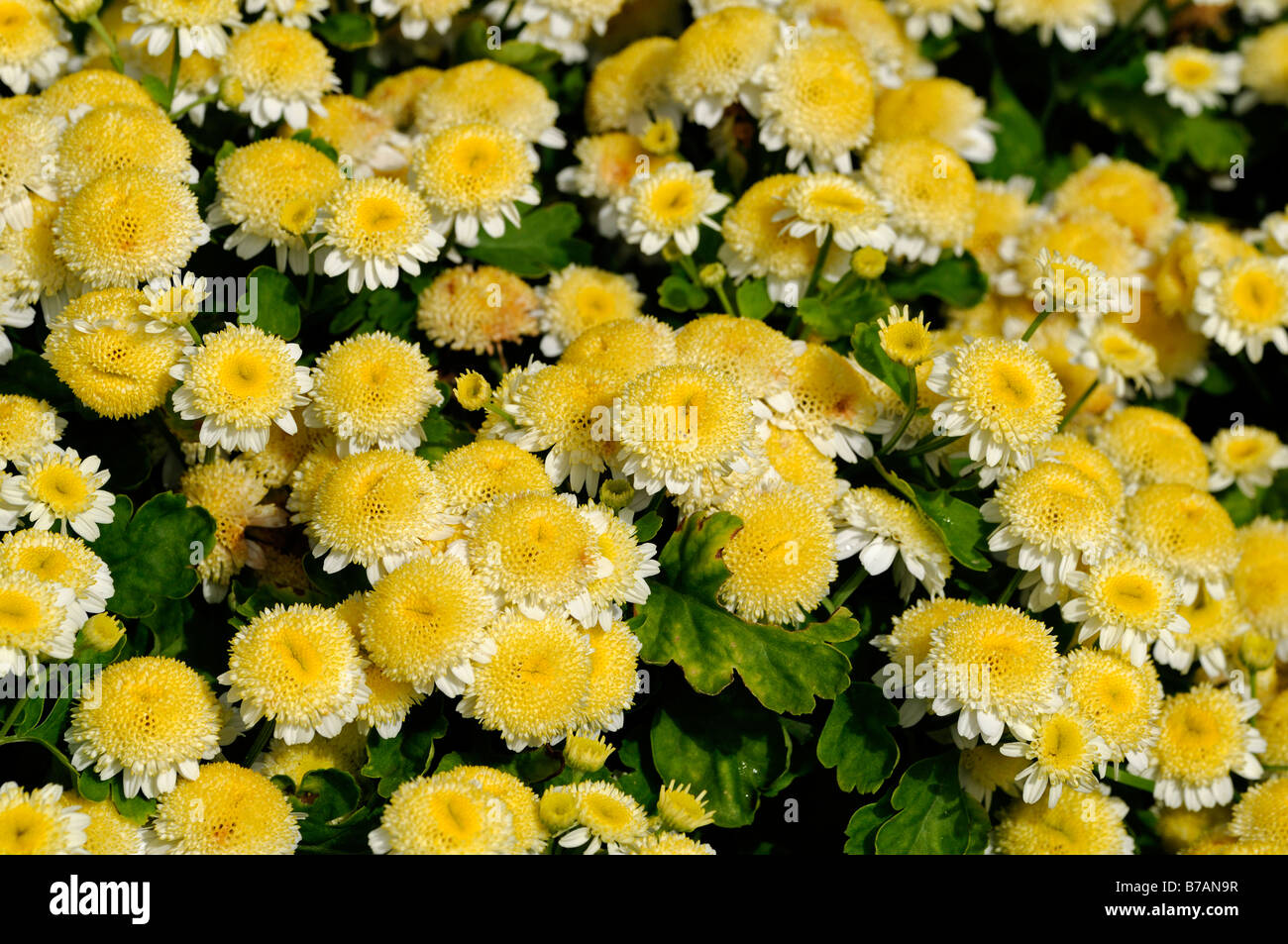 chrysanthemum morifolium ramat butterball yellow flowers daisy, Natural flower