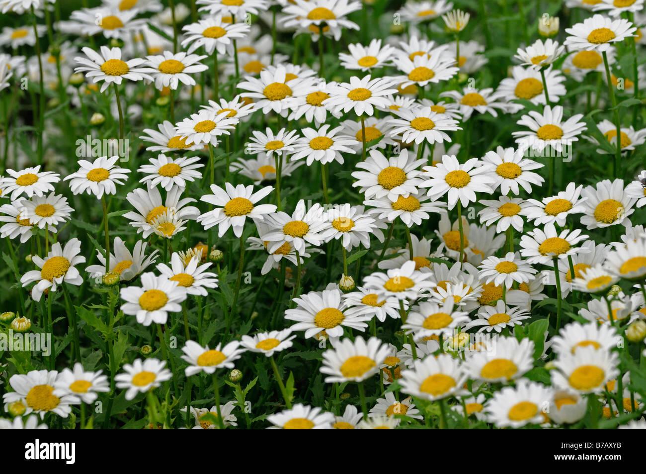 Chrysanthemum paludosum snowland daisy dwarf daisy type hardy chrysanthemum paludosum snowland leucanthemum mini marguerite dwarf daisy type annual flower bloom blossom white dhlflorist Images