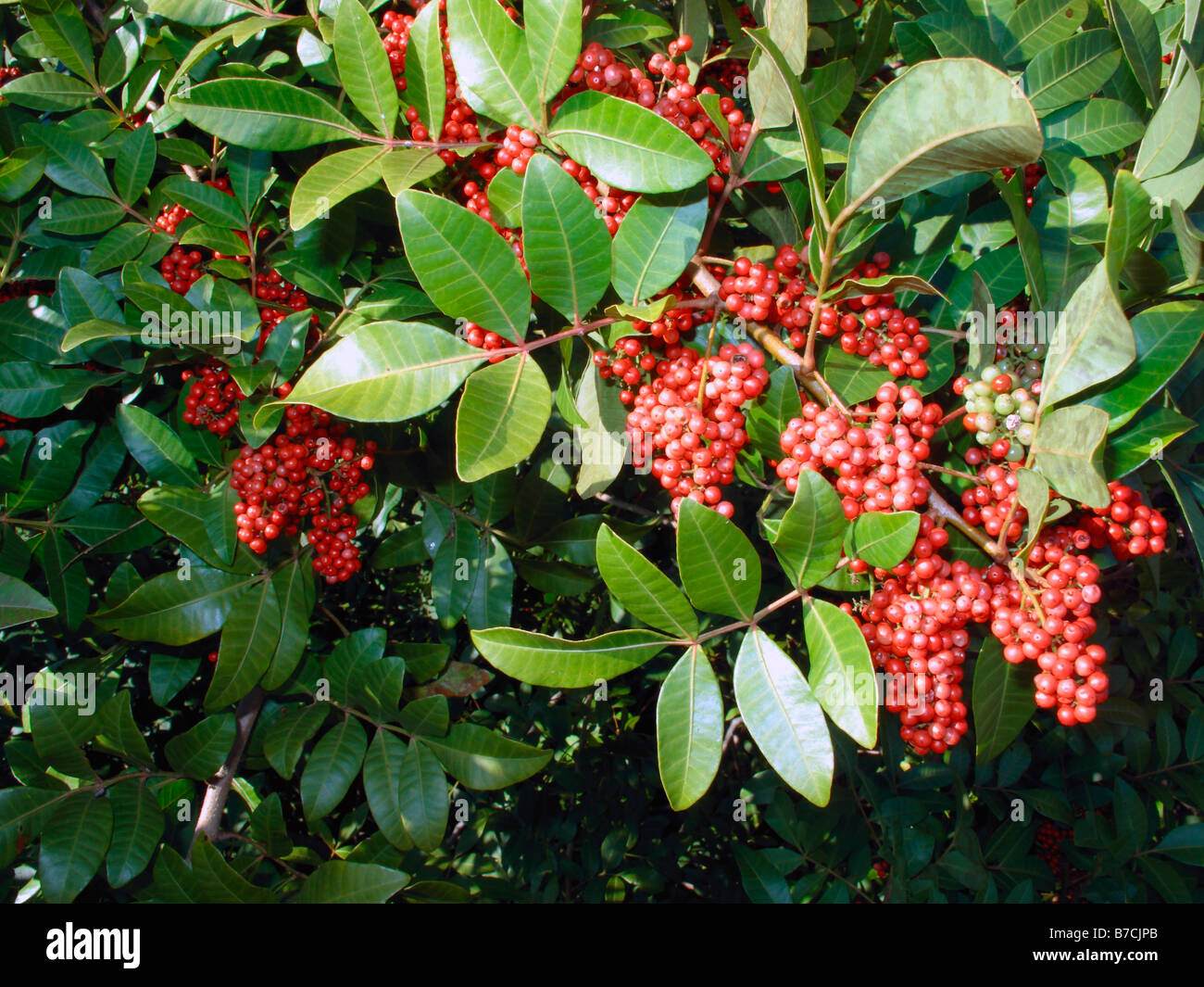 brazilian pepper tree branch and berries in florida usa