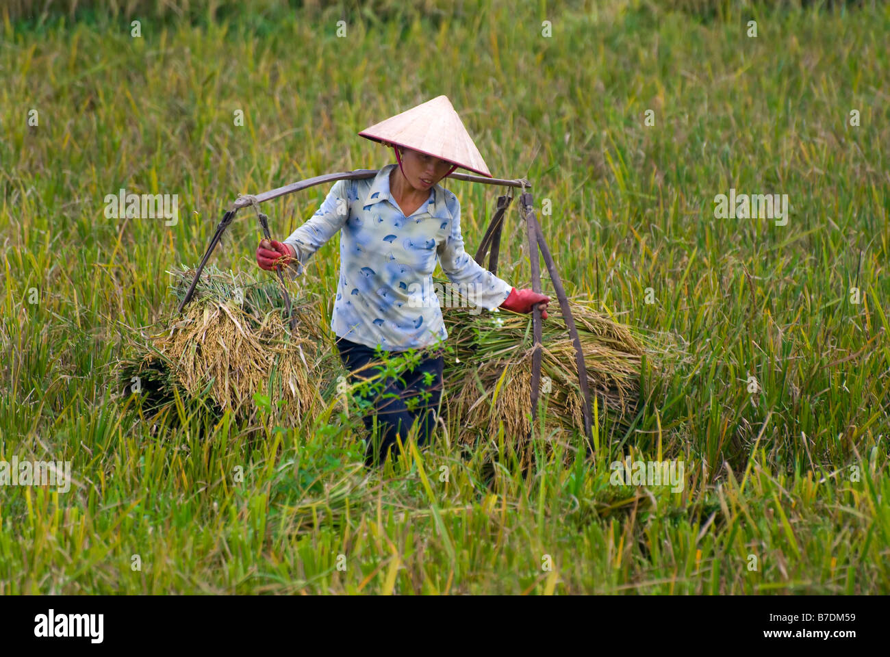 rice in vietnam Vietnam 5% broken rice price historical data, charts, stats and more vietnam 5% broken rice price is at a current level of 39543, up from 38094 last month and up.