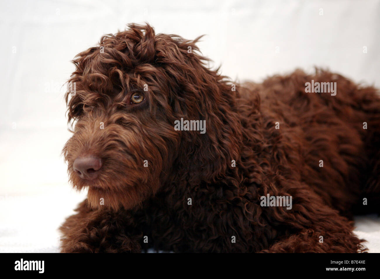 Light brown portuguese water dog - photo#16