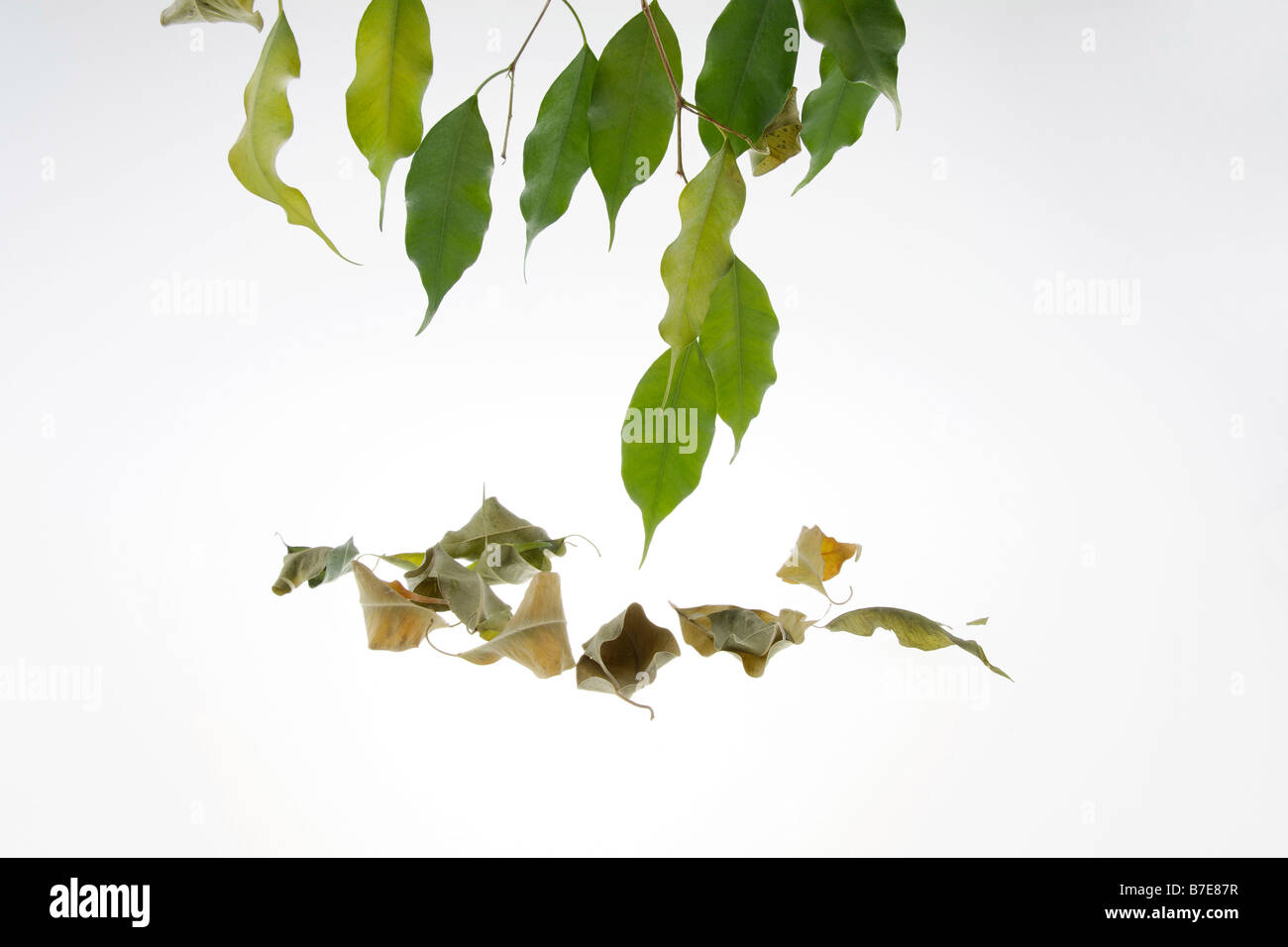 Clip image drying leaves of potted fig tree ficus benjaminii stock clip image drying leaves of potted fig tree ficus benjaminii symbolism of green thumb or green fingers biocorpaavc Gallery