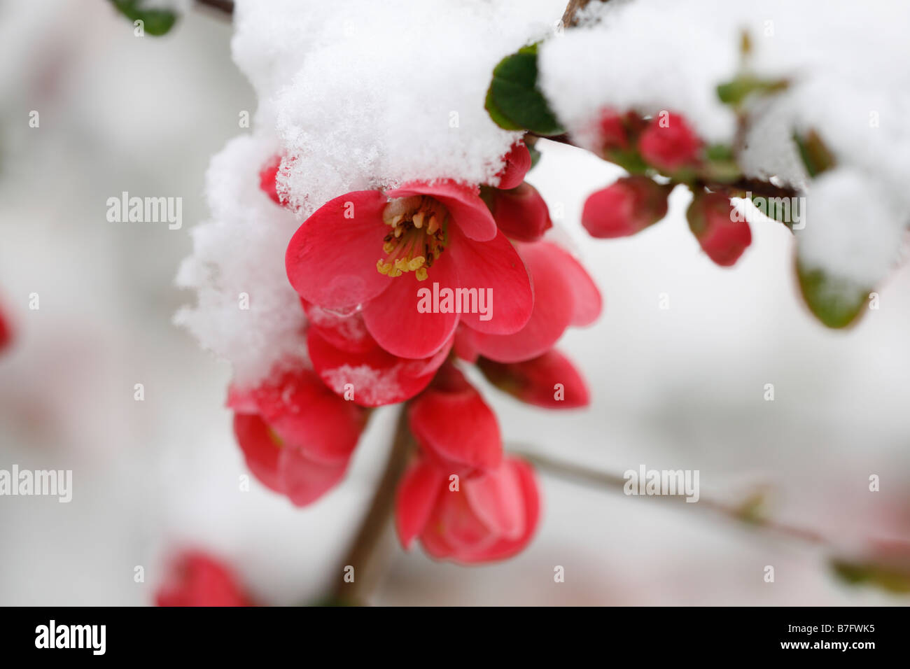 snow on the red blossom of japanese quince flowers lat chaenomeles japonica - Quince Flower