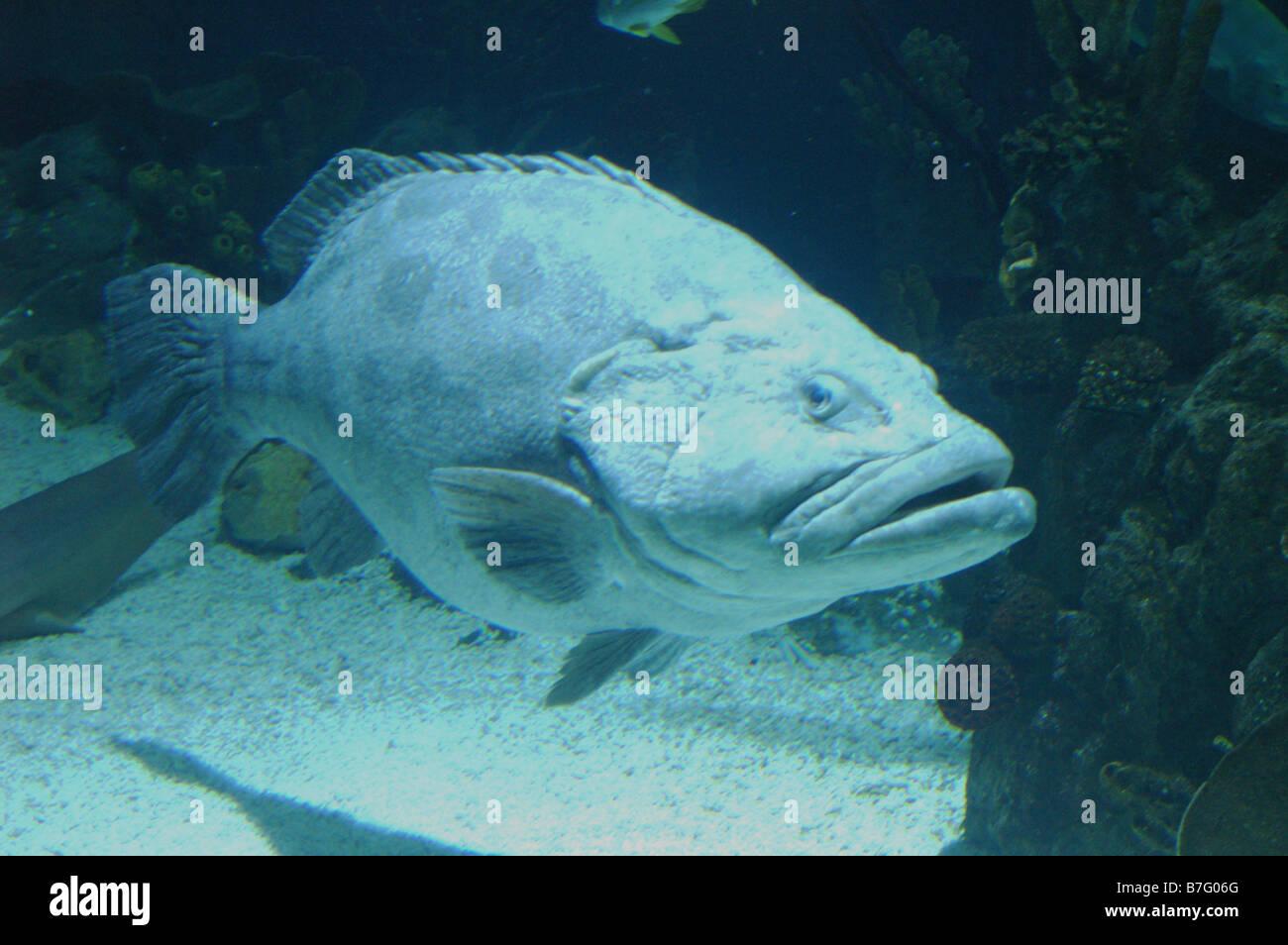 Fish for big aquarium - Big Fish Potato Cod Or Potato Grouper In Aquarium